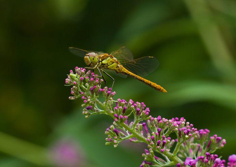 Groene Heidelibel op Vlinderstruik van Martin Smit