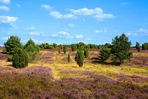 Lueneburg Heath in Bloom