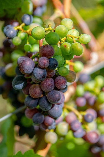 Tros gemengde groene en rode druiven