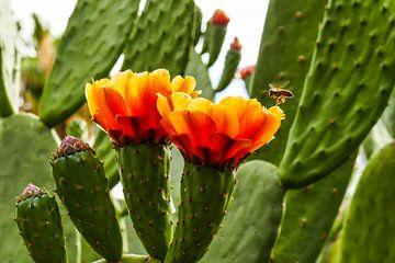 Vliegende bij op cactus van Stijn Cleynhens