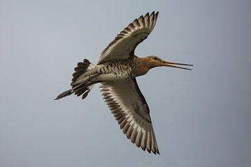 De Grutto, Nationale vogel van Nederland