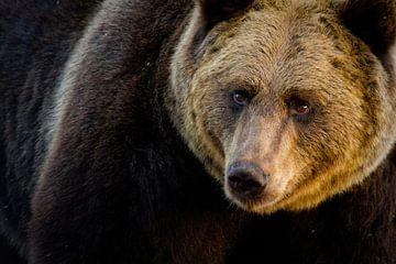 Portrait de l'ours brun