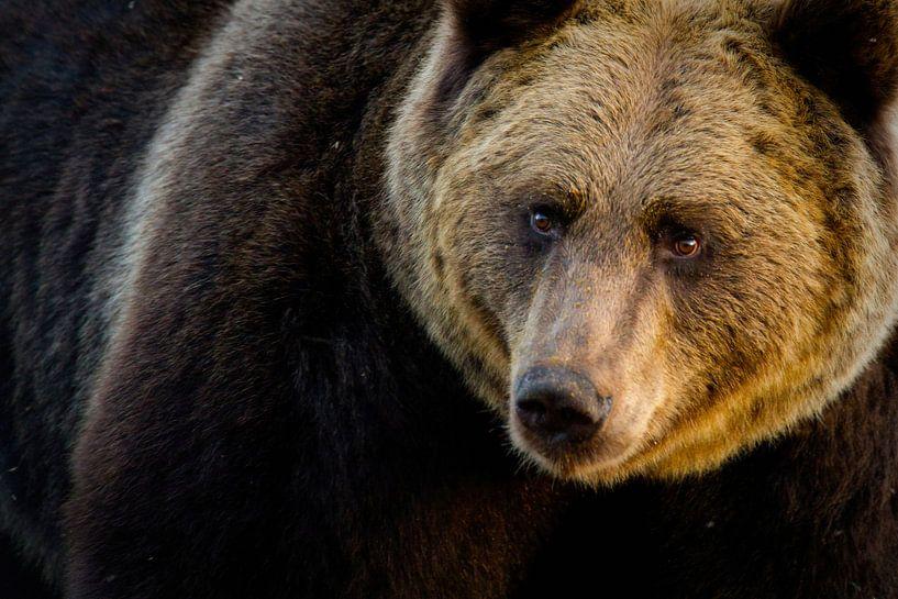 Portret van Bruine beer van Sam Mannaerts Natuurfotografie