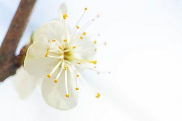Weiße Blüte in Blüte von Caroline van der Vecht