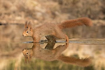 Eekhoorn in het water van Art Wittingen
