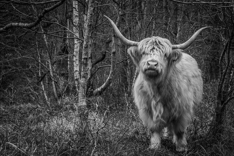 Schotse Hooglander van Carla Eekels