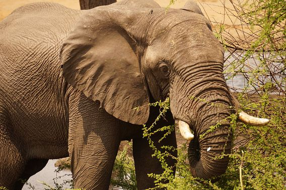 Olifant eet pas omgevallen boom