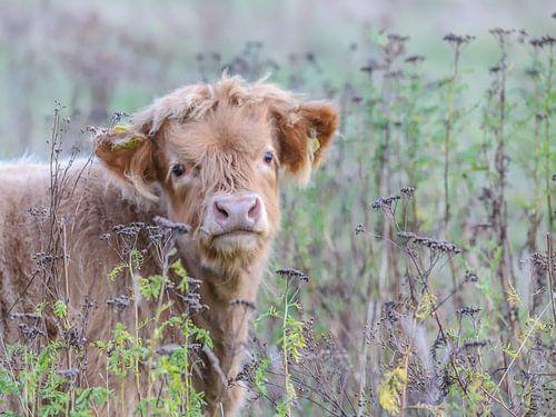 Nieuwsgierig Schots Hooglanderkalf / Curious Scottish Highland calf