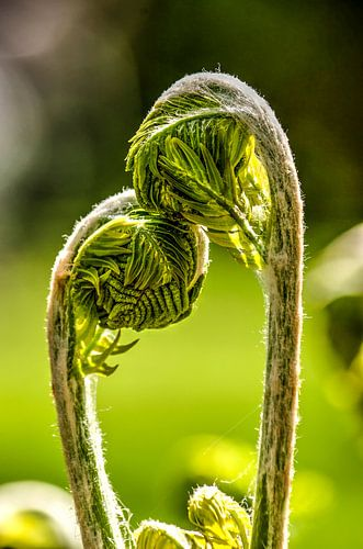 Young ferns in love