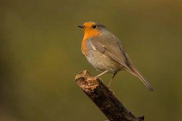 Robin sur