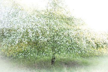 Pommier en fleurs sur Guido Rooseleer