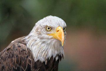 Eagle sur