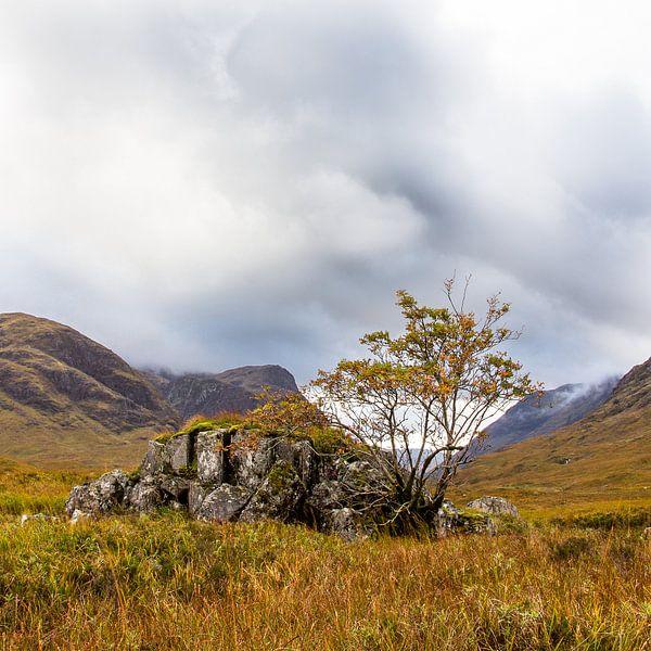 Boom bij rots op Schotse hei bij Glencoe