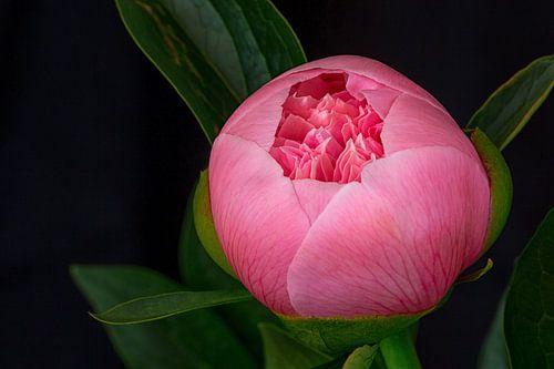 Knop roze pioenroos bijna open