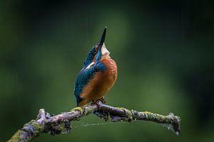 IJsvogel in de regen