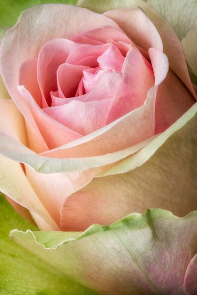 Rose closeup van Lorena Cirstea