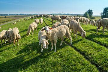 Schafe am Deich von Berthold Ambros