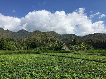 Reisfeld in Indonesien von Christine Volpert