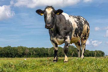 Bonte koe op een dijk sur Bram van Broekhoven