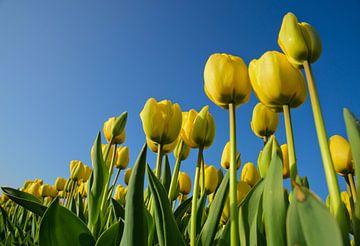 Gele tulpen, blauwe luchten von Remco Swiers