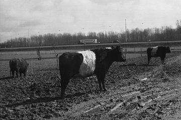 Een stier in de wei in zwart wit von Melvin Meijer
