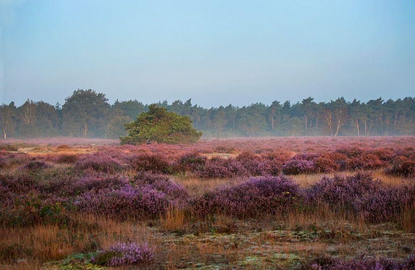 Bloeiende heide in de ochtend van Anouschka Hendriks