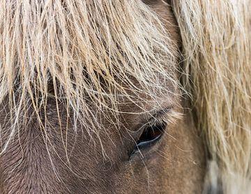 IJslands Paard van Daan Kloeg