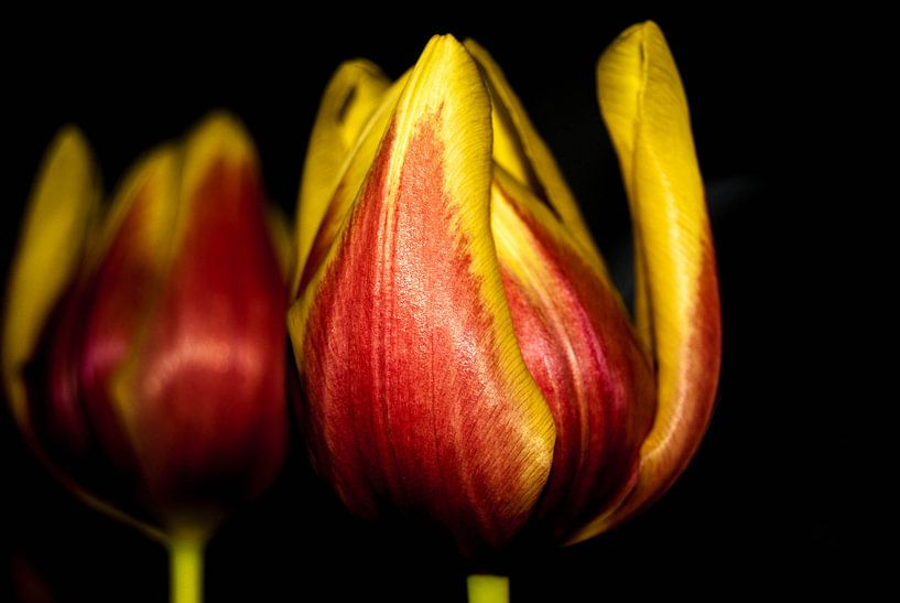 Tulp van Saskia Cloo-Hartsema