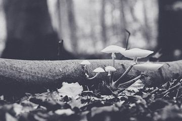 Porseleinenzwam (Oudemansiella mucida) van Fotografiecor .nl