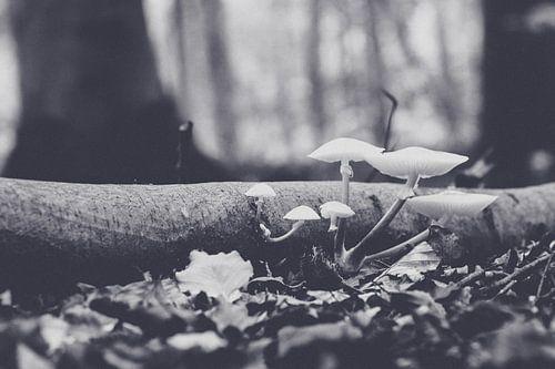 Porseleinenzwam (Oudemansiella mucida)