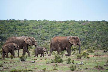 Olifantengezin op weg van