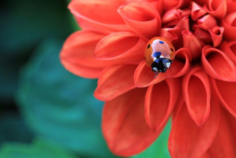 Lieveheersbeestje. van Patrick Brouwers