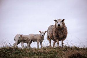 Nieuwsgierig schaap met lammetjes