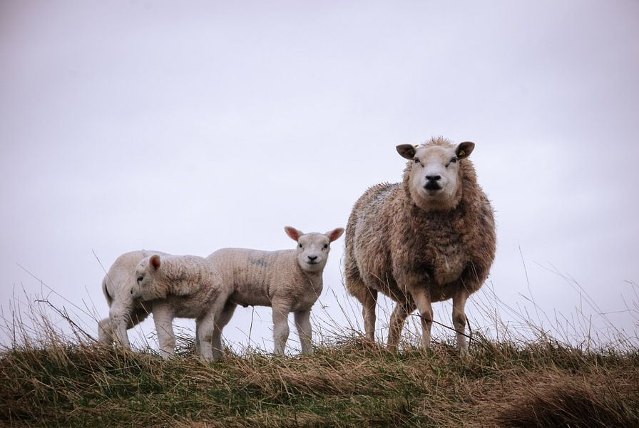 Nieuwsgierig schaap met lammetjes van Milou Oomens