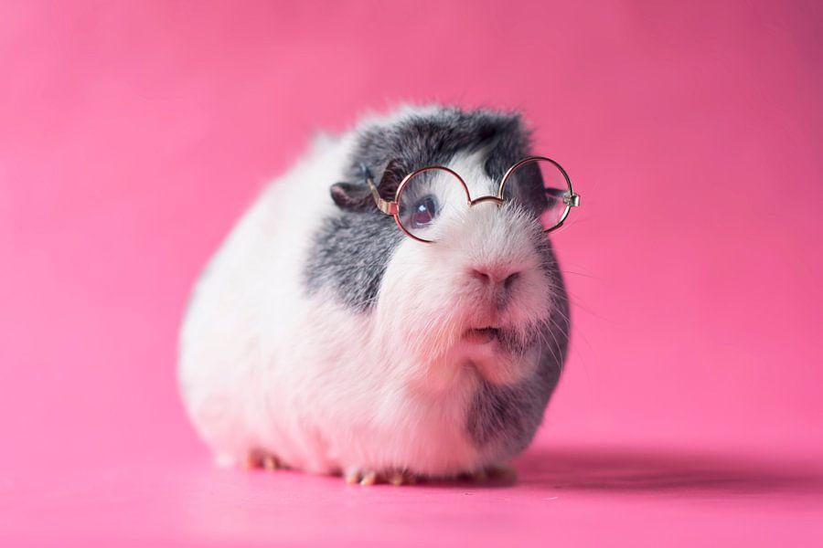 Cavia met bril van Marloes van Antwerpen