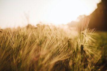 Close up tarweveld. van Marleen Kuijpers