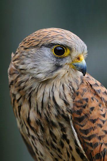 Kestrel ( Falco tinnunculus ), young female, looks back, detailed head shot, portrait.