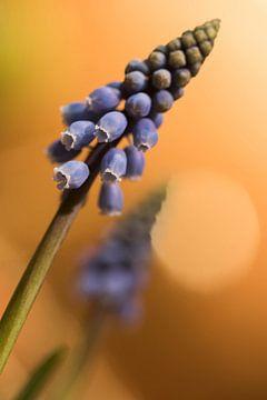 Blauwe druifjes von Kristel van de Laar