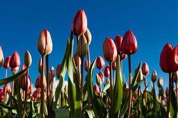 dutch tulips von Fokke Terpstra