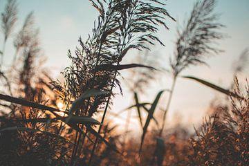 Nahaufnahme von wogendem Schilf bei Sonnenuntergang von Jesper Stegers