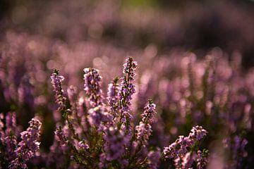 Heidekraut in Blüte von Peter van den Bosch