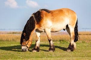 Pferd auf Juist