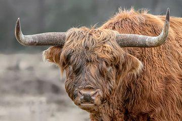 Portret van een Schotse  Hooglander van Albert Beukhof