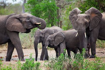 Olifanten in Zuid-Afrika, Krugerpark