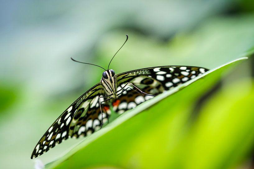 Limoen vlinder (Papilio demoleus) van Frankhuizen Photography