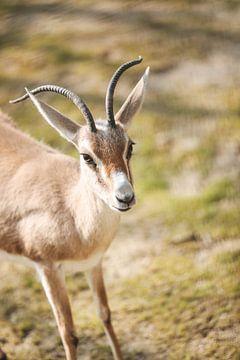 Baby Antilope von Leen Van de Sande