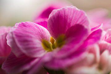 Zachtrose primula obconica bloemen van J..M de Jong-Jansen