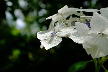 Hortensia Bluebird von Marian Klerx