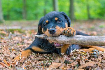 Rottweiler Welpe beißt auf einem Baumast von Ben Schonewille