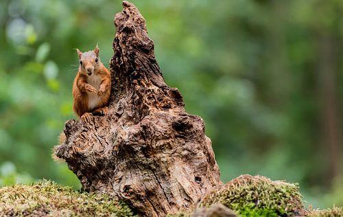 Foeragerende eekhoorn
